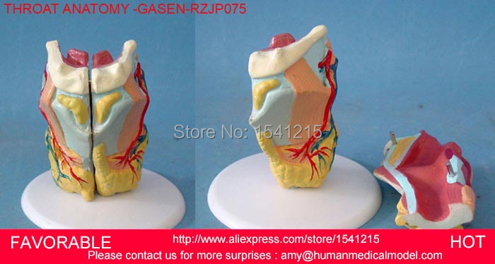 MEDICAL ANATOMICAL TORSO ANATOMICAL MODEL STRUCTURE HUMAN ORGAN SYSTEM INTERNAL ORGANS LARGE THROAT-GASEN-RZJP075 human anatomical male body integral skeleton organ skin medical teach model school hospital