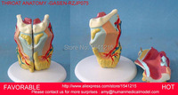 MEDICALANATOMICAL TORSO ANATOMICAL MODEL STRUCTURE HUMAN ORGAN SYSTEM INTERNAL ORGANS LARGE THROAT GASEN RZJP075