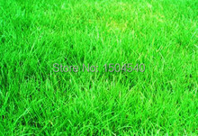 1000 pcs Tall Fescue Grass Seeds – Heat Tolerant, Low Maintenance,ideal lawn,