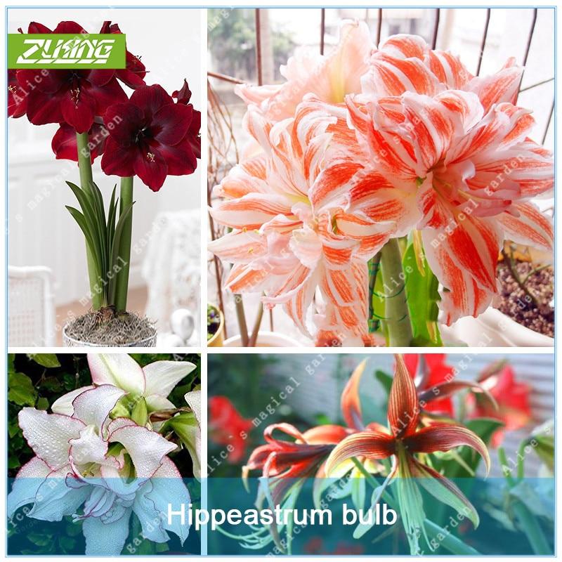 Barbados Lily Zlking 2 Onderwerp Amaryllis Bonsai bollen Non Balkon Bloem Hippeastrum Lampen Hydrocultuur Wortelplanten Bloem