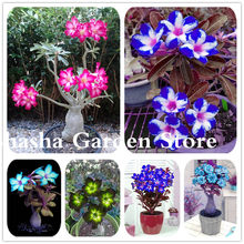 2 Pcs/ Bag Rare Color Desert Rose Bonsai Flower Plant DIY Garden Decoration Adenium Obesum Potted Easy To Growing Plants(China)