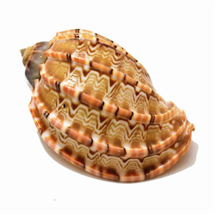 6-8cm Natural Craft Harpaconoidalis Conch Native Harp Shell Carambola Seashell Aquarium Ornaments Gift Mascot Home Decor