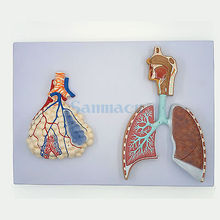 Human Relief Model of Respiratory System With Pulmonary Alveoli Anatomical Medical
