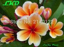 7-15inch Rooted Plumeria Rubra Plant Thailand Rare Real Frangipani Plants no222-Preal-Suriya
