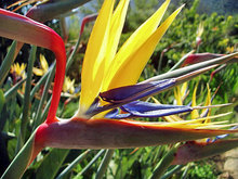 Mandela's Gold Bird Of Paradise Flower Seeds, Yellow Strelitzia Reginae Seeds, Rare Flowering Plant Seed  5