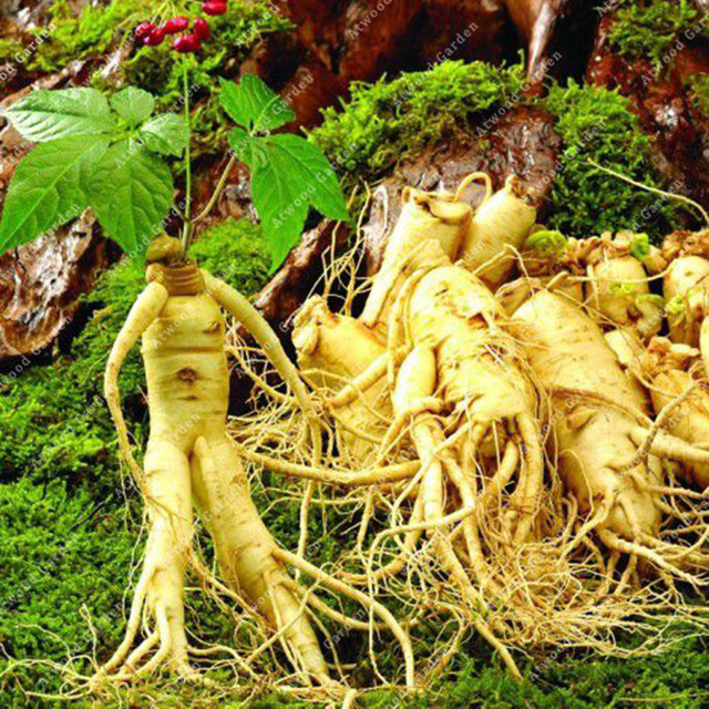 ZLKING 50PCS Ginseng Bonsai Plants For Home Garden Rare Perennial Fragrant Plants Supernatural Products Natural Herbs 1