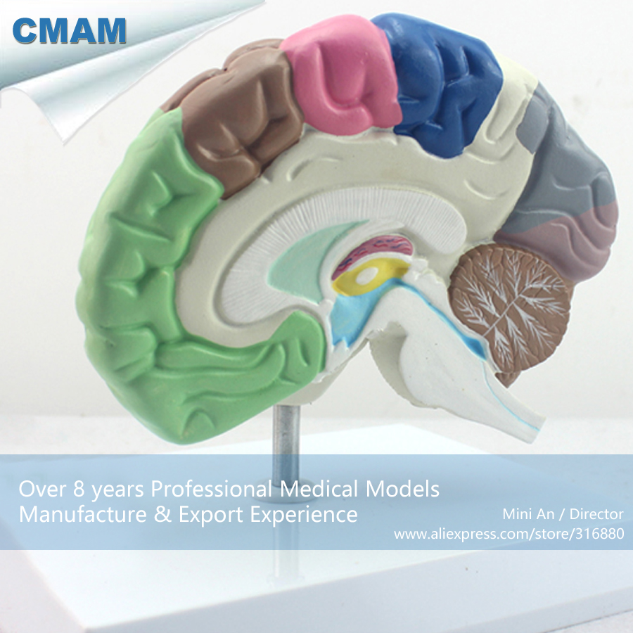 12407 CMAM-BRAIN09 Anatomy Human Functional Colored Brain Model,  Medical Science Educational Teaching Anatomical Models cmam viscera01 human anatomy stomach associated of the upper abdomen model in 6 parts