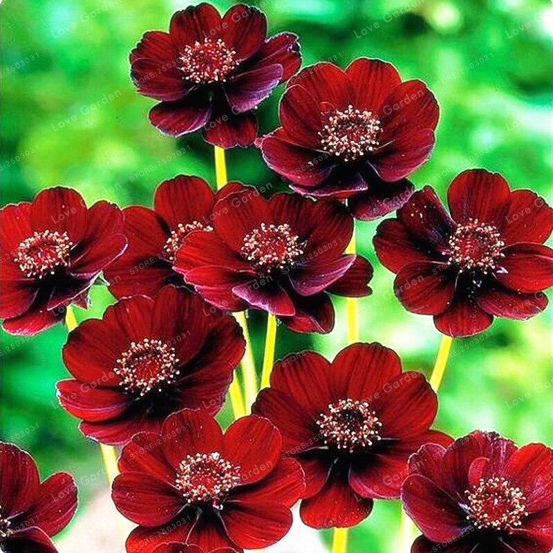 achetez en gros cosmos graines de fleurs en ligne des grossistes cosmos graines de fleurs. Black Bedroom Furniture Sets. Home Design Ideas
