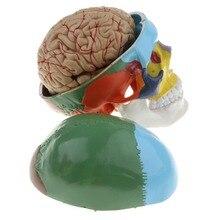 1:1 Kleurrijke Menselijk Skelet Schedel Met Hersenen Volwassen Hoofd Model Met Hersenen Stem Anatomie Medische Onderwijs Tool Supply