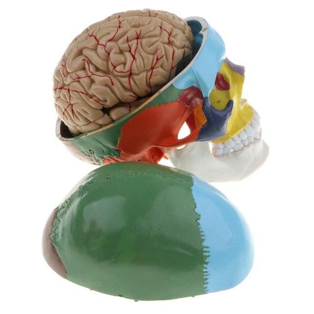 1:1 crânio esqueleto humano colorido com cérebro adulto cabeça modelo com anatomia da haste do cérebro ferramenta de ensino médico fornecimento