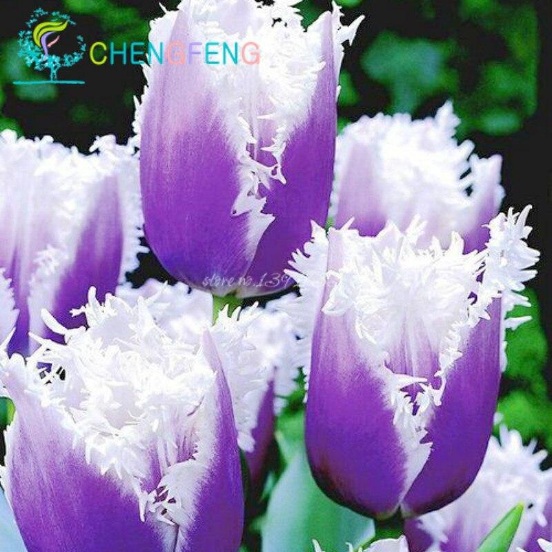 10pcs/bag tulip seeds Rare bonsai flower seeds ice cream as beautiful tulips potted perennial home gardens tulip pants