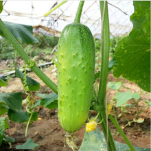 20 Mouth crisp cucumber seeds of new varieties of fruits and vegetables, whole female seed salad, Free Shipping
