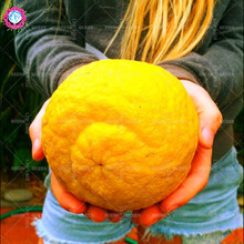 NEW!40 pcs/bag rare giant orange seeds,Organic fruit tree,perennial bonsai Citrus sinensis seeds potted for home&garden planting