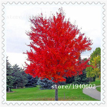 Free shipping 20 particles Beautiful Japanese Red Maple Seeds, DIY home & garden tree seeds