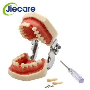Image 2 - Abnehmbare Dental Modell Dental Zahn Anordnung Praxis Modell Mit 28 stücke Dental Granulat und Schraube Lehre Simulation Modell