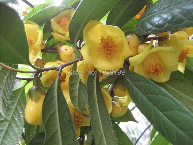 Bonsai casa garden yellow camellia japonica flower seeds for garden     Bonsai casa garden yellow camellia japonica flower seeds for garden 40pcs  camellia seeds sementes de flores