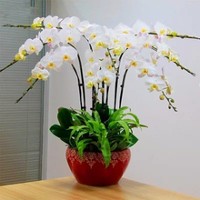 100 pcs Butterfly orchid flower room indoor and outdoor desktop flower green plant potted bonsai clan orchid orchid flower Seeds(China)