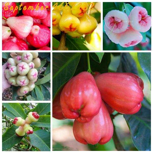 Sale 50PCS/lot Wax Apple Fruit Bonsai Delicious Fruit Bonsai potted  Non-transgenic Senior Patio Plants China Home Free Shipping