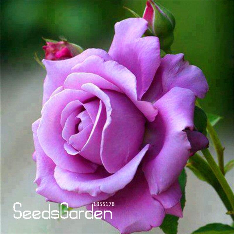 Bonsai Garden Pots & Planters Hard-Working New Arrival!120 Sterling Silver Rose Plants Romantic Color Good Gift For Diy Home Garden Lover Bush Bonsai Flower,#f6kr2v