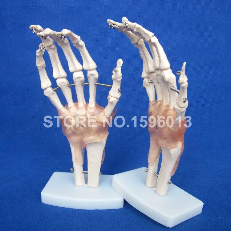 HOT Größe Hand Joint Modell mit Bänder, anatomischen Handgelenk und ...