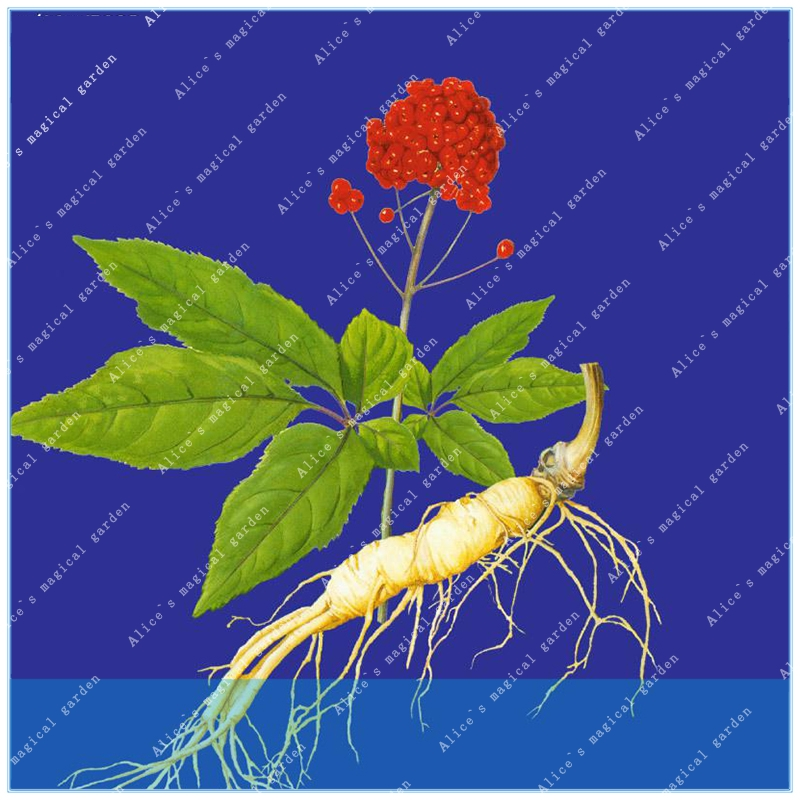 Impartial Zlking 30pcs Buy Real Panax Ginseng Semente 100pcs Plant Chinese Tonic Herb White Ginseng Grow Renshen Garden Cheap Sales 50% Garden Pots & Planters