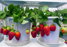 500/bag Giant Strawberry Seeds, Rare, Big as a Peach, Fragaria ananassa L. bonsai pot fruit seeds for home garden plant