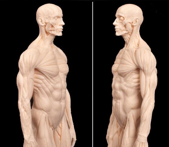 Dental Lab Ps4 Dentist 30cm Pu Human Skeleton Anatomical Model Skull