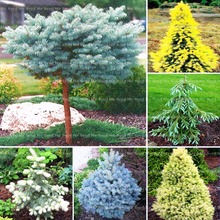 20pcs / bag Tree Seed Rare Evergreen Colorado Spruce Tree Seed Potted Plant Bonsai Garden Garden Bonsai Plant Rare Seeds