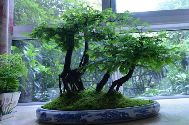 online kaufen gro handel redwood wald bonsai aus china. Black Bedroom Furniture Sets. Home Design Ideas