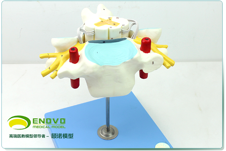 Authentic Medical Human Cervical Vertebra Model Spinal Cord and Spinal Nerve Enlargement Model Neurobiology Anatomical Model цена