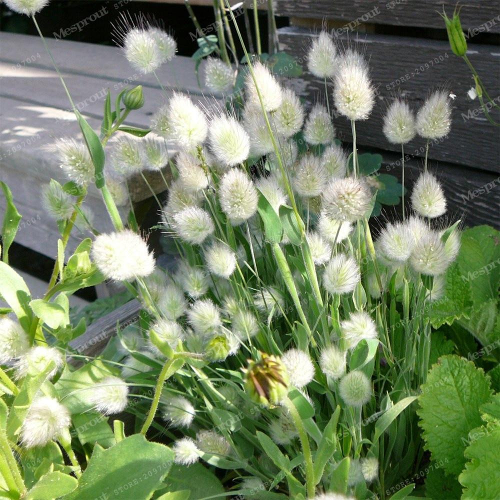 Grass Seeds Bunny Tails Grass Lagurus Ovatus Tropical Ornamental Plants Bonsai Flower Seeds Decorate Home Garden 100 Pcs