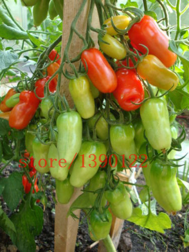 100 PCS big cherry tomato tree seeds italy new tomato seeds NO-GMO fruit and vegetable seeds for ...