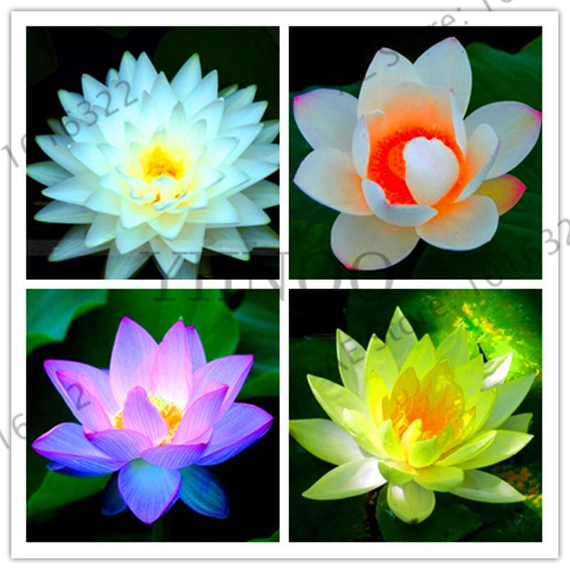 Sale!hot Summer 100% Bowl Lotus Flores Planteling Pots Bonsai Wait Lily Garden Aquatic Plants Flower Plantas 10/bag,#QS2QZ6