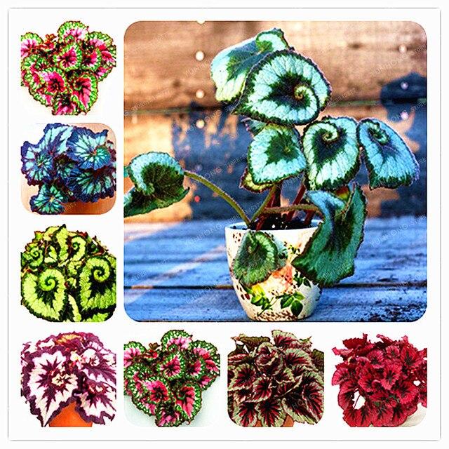 24 Цвета 100 шт. Красивая Бегония бонсай из цветов цветы искусственный бонсаи сад, двор, балкон Колеус бонсай
