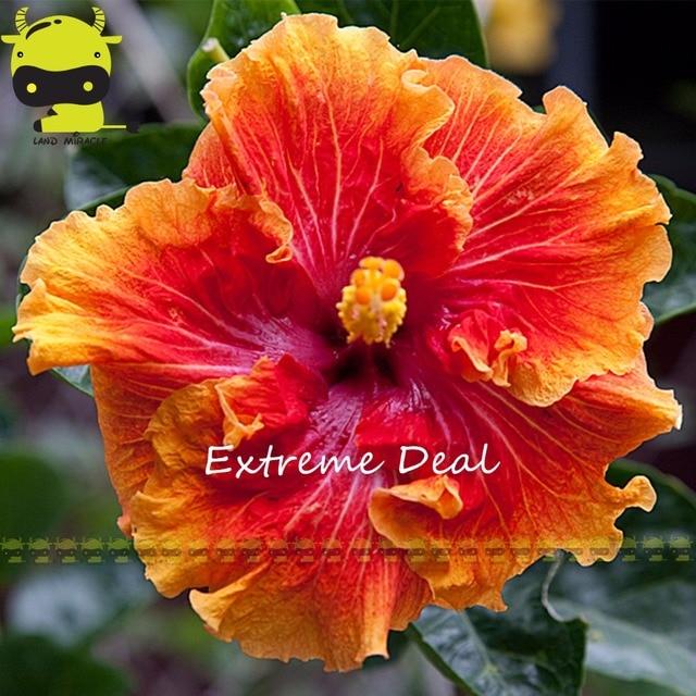 20 Seeds Pack Rare Red Orange Hibiscus Giant Dinner Plate Flower Garden Exotic
