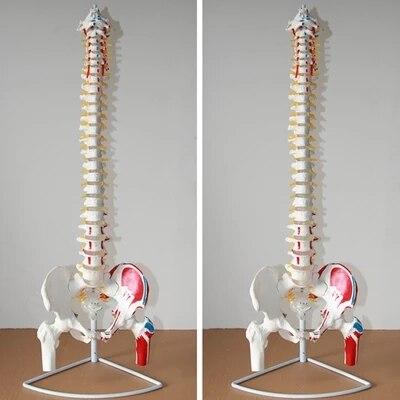 Human spine pelvis model Spine Care