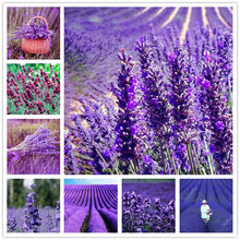 500 pcs Italian lavender flower Heirloom Charming Fragrant flower potted plant Fast Growing outdoor Ornamental Plants for Garden(China)