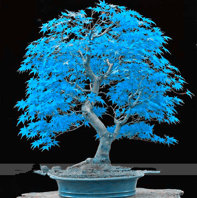 Blue Maple Bonsai Tree Seeds potted plants for Home Garden