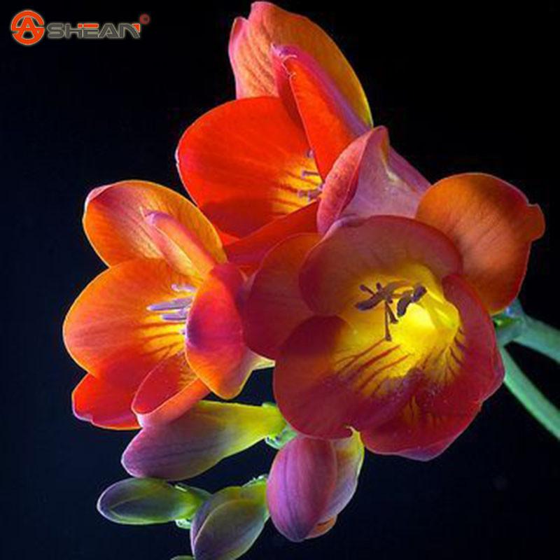 Орхидея комнатная Фрезия фото