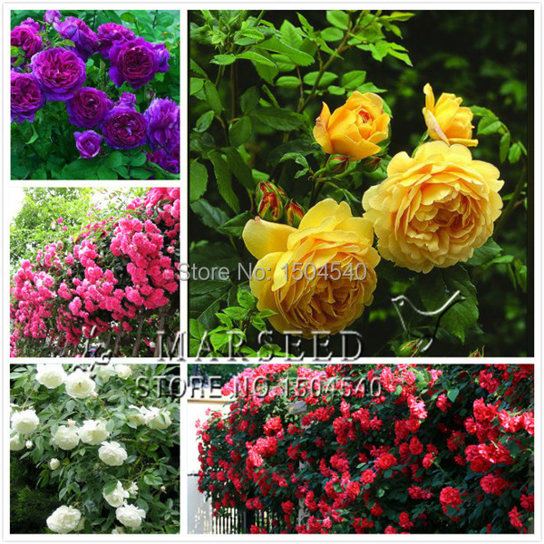 marseed 5 style wholesale 500 pcs bag flower plants climbing