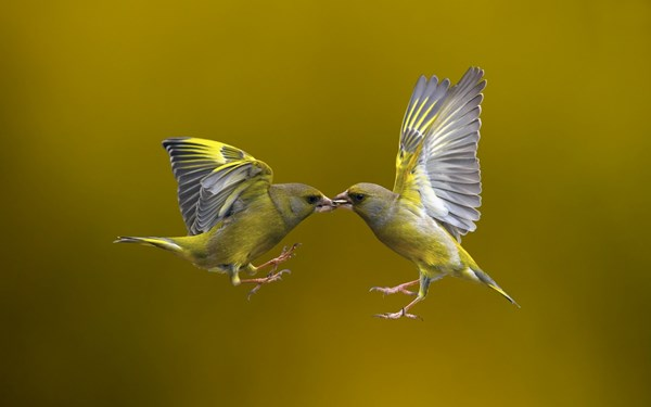 Flying Kiss birds flying couple background living room home wall art ...