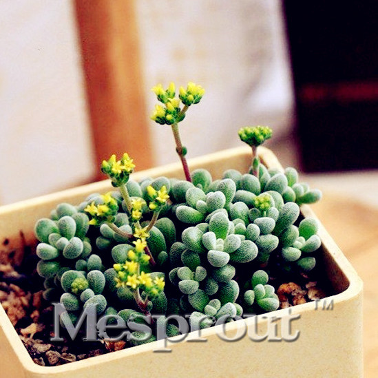 unids crassula namaquensis suculentas semillas de cactus carnoso bonsai semillas de flores de piedra en