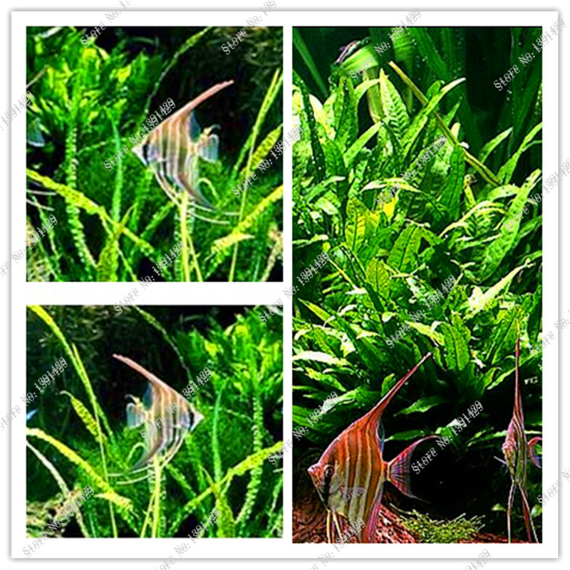 Java Fern Live Aquarium Plant Moss Anubias Fish Tank Grass Aquatic Plant Seeds Family Easy Planting
