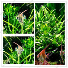 Java Fern – Live Aquarium Plant Moss Anubias Fish Tank Grass Aquatic Plant Seeds Family Easy Planting Ornamental