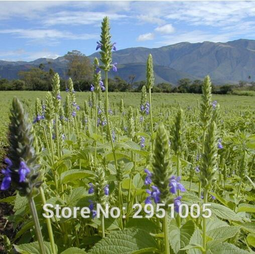 200pcs/lot Salvia Hispanica,chia  flower,courtyard balcony potted home garden free shipping