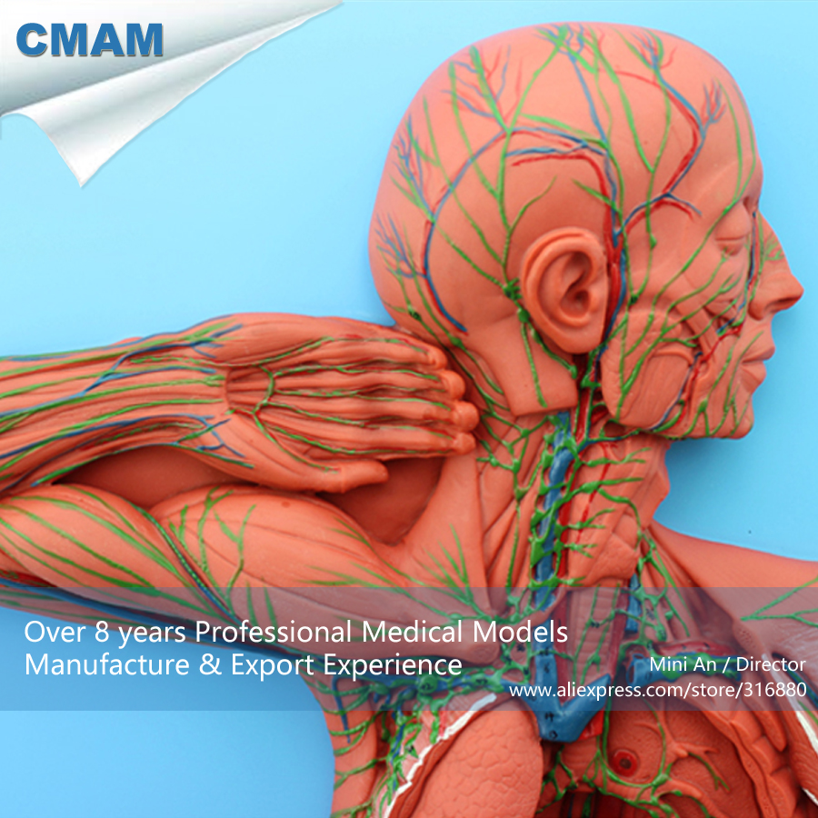 CMAM-HEART13 Anatomy Structure Of The Lymphatic System,  Medical Science Educational Teaching Anatomical Models designing of an information retrieval system in veterinary science