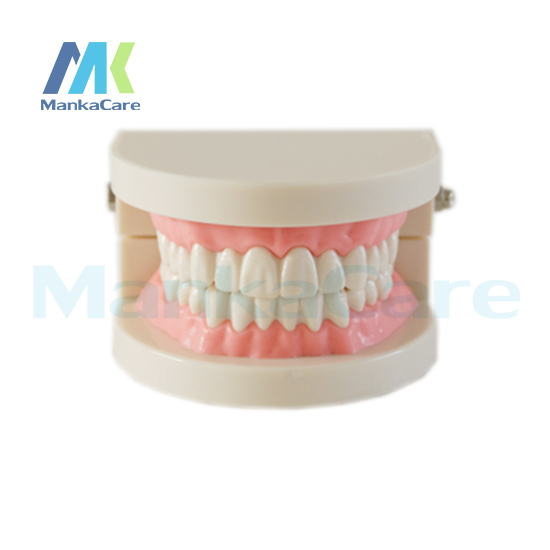 Manka Care - Tooth brushing model,used to guide students to practice Oral Model Teeth Tooth Model