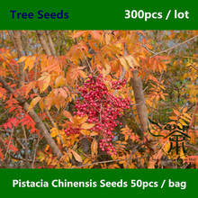 Ornamental Garden Pistacia Chinensis Seeds 300pcs, Widely Cultivated Chinese Pistache Seeds, Deciduous Tree Huang Lian Mu Seeds