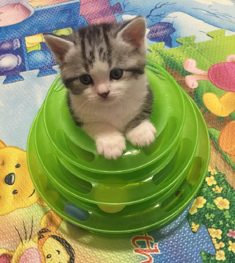 Fashion Puppy Cat Toy Pet Products Intellectual Toys For Kitten Cats Cat Toys Funny Disk Pet Toy Crazy Time Tower Of Tracks