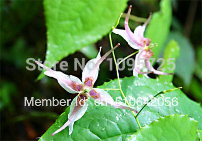 Epimedium extract 10% HPLC